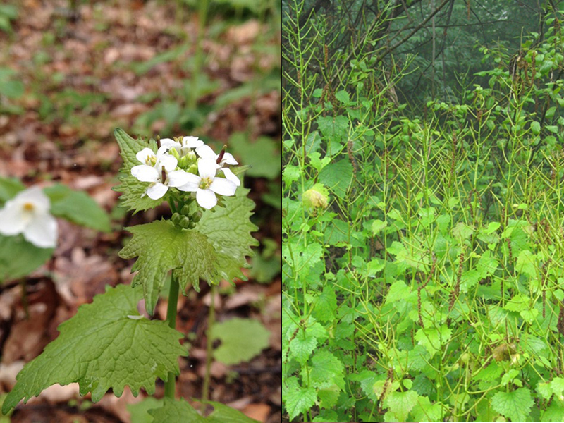 Photo of garlic mustard flower and seed heads