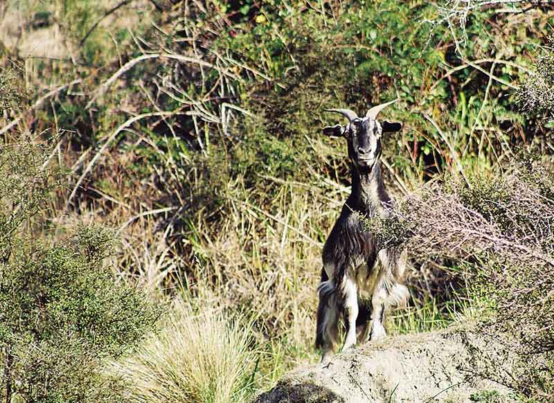 Photo of feral goat