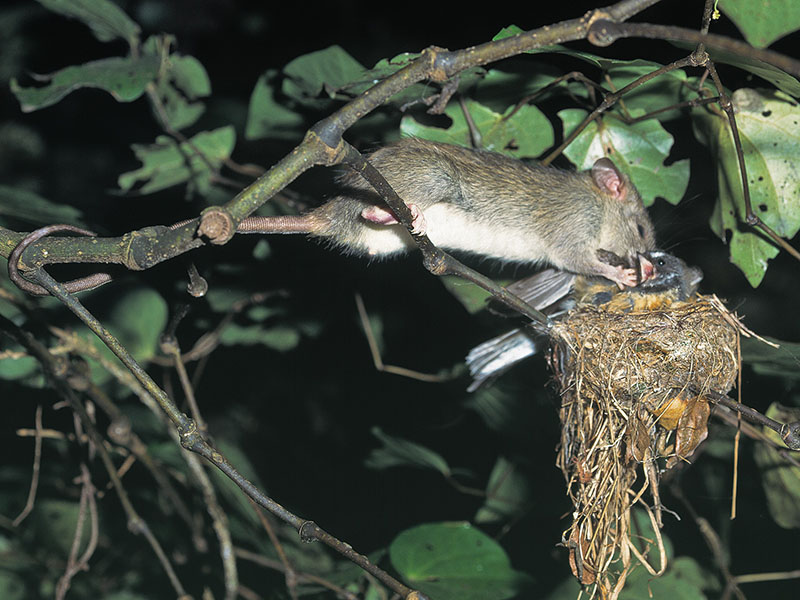 Photo of a rat attacking a fantail bird