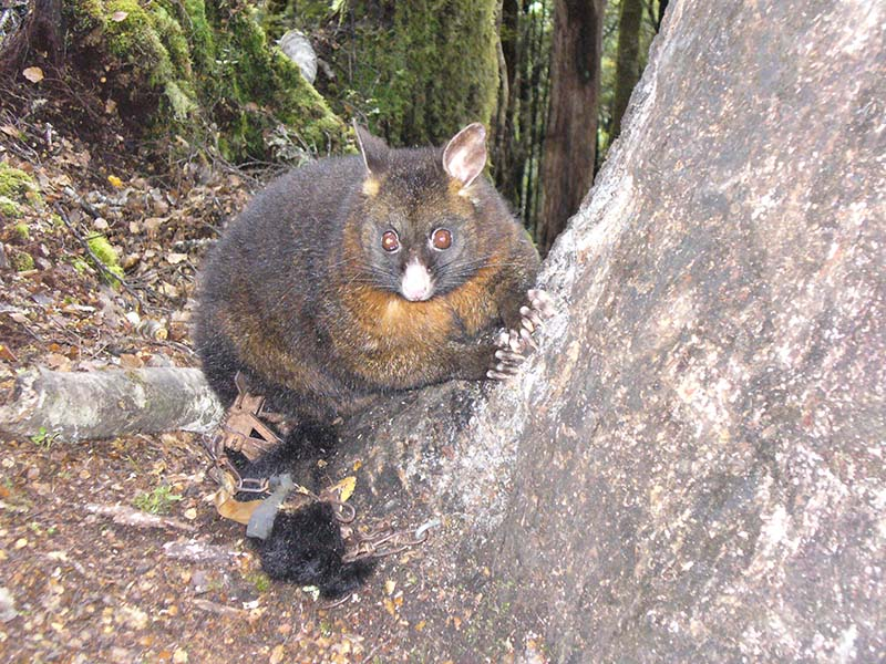 Photo of a trapped brushtail possum