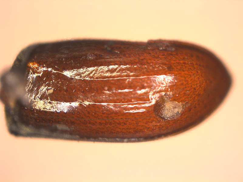 Photo shows sheath-like tissue that encloses a parasitic nematode on the pupa of a bark beetle