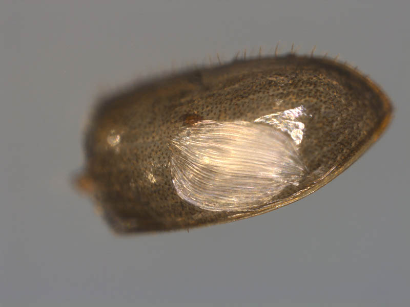 Image of juvenile nematode on a bark beetle pupa