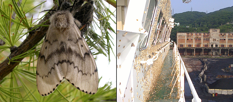 Photos of Asian gypsy moth closeup and on an infested ship