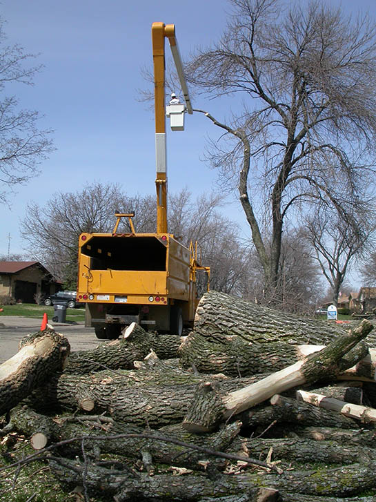 Image of tree service removing dead ash trees in an urban setting