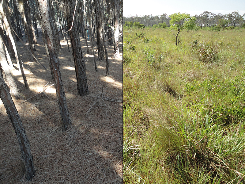 Photos showing the invasion of Brazilian cerrado by Pinus eliotti and elimination of native flora.