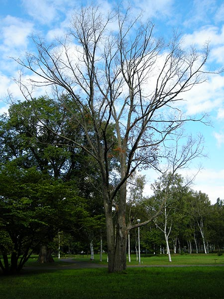 Photo of tree killed by Dutch elm disease