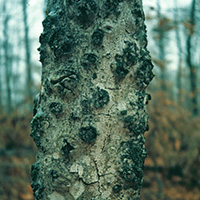 Beech bark disease, Photo credit: North Central Research Station, USDA Forest Service, Bugwood.org