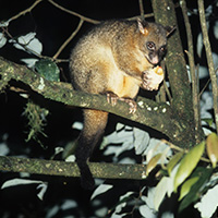common brushtail, Photo credit: Alfred Viola, Northeastern University, Bugwood.org
