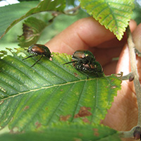 Japanese beetle, Photo credit: Rob Routledge, Sault College, Bugwood.org